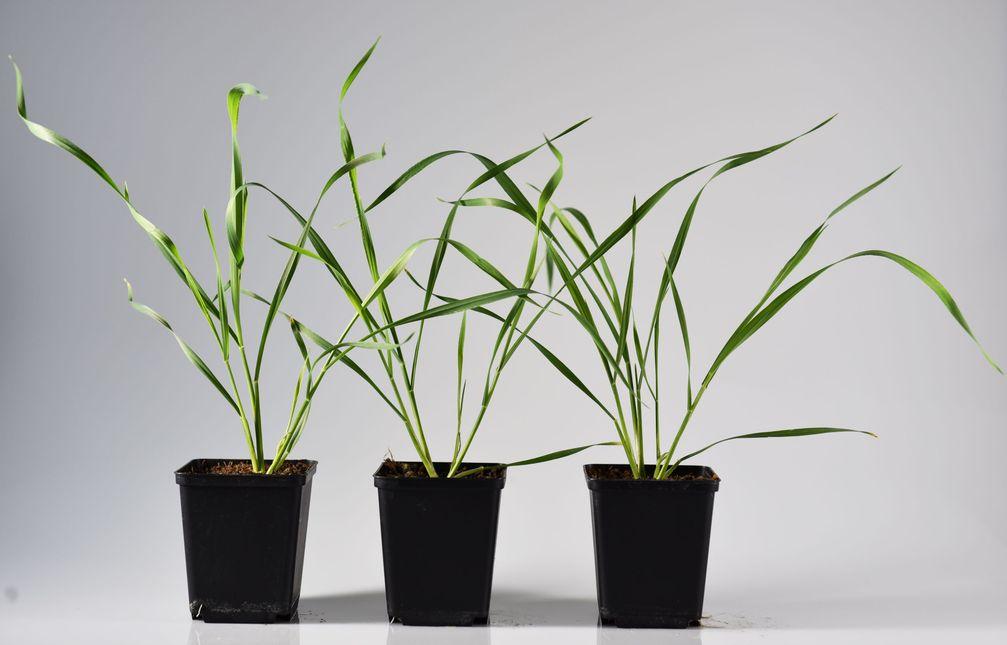 Weizenpflanzen, in die ein Methyltransferase-Gen von Mais eingebracht worden ist, können ihre Abwehr nicht mehr angemessen steuern und werden so anfällig für Blattlausbefall. Quelle: Beibei Li / Universität Bern, Schweiz (idw)