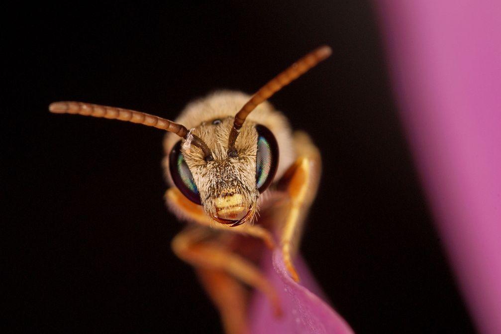 Die Wildbiene Halictus subauratu Quelle: Bildquelle: A. Haselböck (idw)