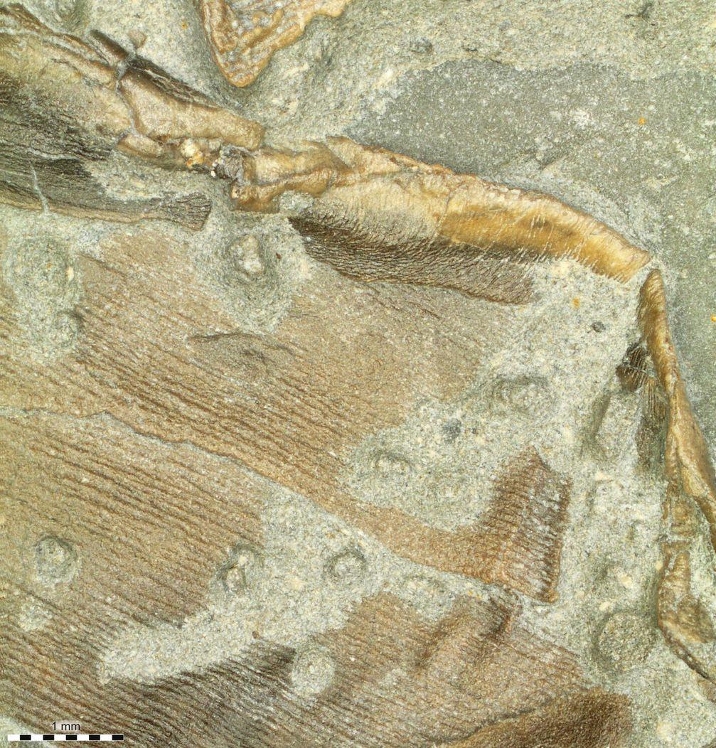 Fossile Haut des untersuchten Ichthyosauriers (rechte Bauchflosse). Quelle: Foto: Johan Lindgren (idw)