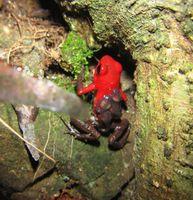 Der Pfeilgiftfrosch Andinobates. virolinensis (hier ein Männchen beim Quappentransport) wurde ausschließlich in beschatteten Kaffeeplantagen gefunden. Quelle: Foto: Senckenberg/Brüning (idw)