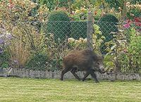 Wildschwein in Giesen Bild: Polizei