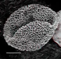 Blütenpflanzenähnliche Pollen aus der Trias Quelle: Bild: UZH (idw)