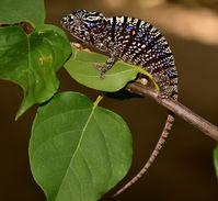 Weibchen des Voeltzkow-Chamäleons in der Prachtfärbung. Quelle: Kathrin Glaw, SNSB (idw)