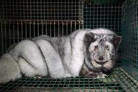 """Aktuelle Bildaufnahmen von finnischen Pelzfarmen zeigen so genannte Monsterfüchse. Diese Füchse wiegen mit 20 Kilogramm fünfmal so viel, wie """"normale"""" Polarfüchse. Bild: """"obs/Deutsches Tierschutzbüro e.V./Deutschen Tierschutzbüro e.V."""""""