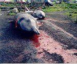 Getötete Wale auf den Färöer-Inseln Bild: Erik Christensen, Porkeri / de.wikipedia.org