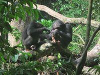 Weibchen, die ein Baby haben, zur Fellpflege gewählt.