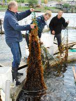 Mit der Ernte der Braunalgen werden dem Gewässer die Nährstoffe entzogen, die in zu hoher Konzentration dazu führen, dass das ökologische Gleichgewicht gestört wird. Bild: Thomas Kujawski