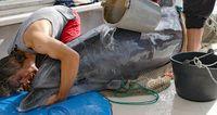Geretteter Delfin wird transportiert und mit Wasser gekühlt Bild: GRD Gesellschaft zur Rettung der Delphine e.V. Fotograf: T. Gomercic