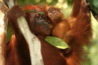 138 Orang -Utans wurden bislang (2003-2011)  in Bukit Tigapuluh in Zentralsumatra wiederangesiedelt und zahlreiche Jungtiere kamen im Auswilderungsgebiet mittlerweile zur Welt.. Quelle: Foto: Peter Pratje, ZGF (idw)
