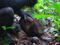 Ein typischer von den Schimpansen im Tai-Wald verwendeter Steinhammer mit starken Abnutzungserscheinungen. Bild: Max-Planck-Institut für evolutionäre Anthropologie