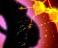Schwangere und Neuronen: Geburt beeinflusst Entwicklung. Bild: Yale/Helfenbein