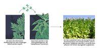 Neue Methoden der Pflanzenbiotechnologie könnten die kostengünstige Massenproduktion eines Malariamedikaments ermöglichen. Quelle: Fuentes et al., eLife (idw)