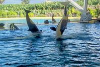 Orca-Wale im Loro Parque in Aktion