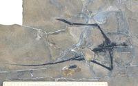 Der zerbissene Skelettrest von Macrocnemus obristi in einer 241 Millionen Jahre alten Kalkbank des D Quelle: Bild: UZH (idw)
