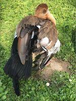Nilgans mit gestutztem Flügel Bild: Polizei