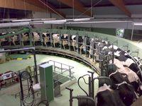 Zur Milchproduktion eingesetztes Melkkarussel