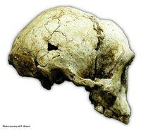 Der in Liang Bua 1 (LB1) gefundene Schädel.