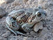 Auch Knoblauchkröten profitieren, wenn landwirtschaftliche Methoden mit dem Naturschutz in Einklang gebracht werden. Die Ergebnisse des ZALF-Projektes zeigen, welche Strategien und Maßnahmen dafür in Frage kommen. Berücksichtigt werden dabei auch die wirtschaftlichen Belange. Foto: Zalf