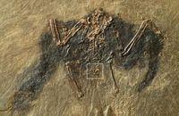 48 Millionen altes Vogelskelett aus der Grube Messel mit Bürzeldrüse (markiert). Bild: Copyright: Sven Traenkner/  Senckenberg (idw)