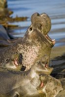 Nördlichen See-Elefanten (Mirounga angustirostis) Bild: Mike Baird from Morro Bay, USA