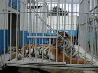 Ein trostloses Leben: Tiger in Gefangenschaft. Bild: PETA