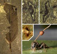 Fossiles Blatt aus der Grube Messel (links) mit den charakteristischen Bissspuren an den sekundären Blattvenen (oben). Das Bild unten zeigt eine befallene Ameise, aus deren Kopf eine Pilzhyphe wächst. Der orange Fruchtkörper enthält die Sporen. Bild: Universität Bonn, Georg Oleschinski / Universität Harvard, David P. Hughes