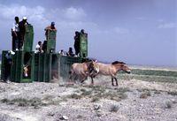 Przewalski-Pferde werden in ihrer neuen Heimat, der Wüste Gobi, freigelassen (2004). Quelle: Foto: Vetmeduni Vienna/Petra Kaczensky (idw)