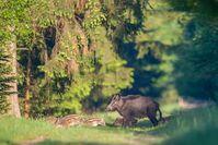Eine Wildschweinrotte quert die Waldlichtung. Bild: Wildtierschutz Deutschland e.V. Fotograf: Detlef Hinrichts