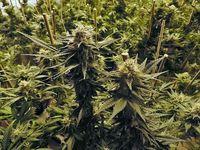 Hanfpflanzen mit Blüten. Aus den Blütenständen der Hanfpflanze wir das Öl als Arzneimittel gewonnen.