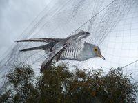 """Kuckuck in illegalem Fangnetz eines Wilderers auf Zypern Bild: """"obs/Komitee gegen den Vogelmord e. V."""""""
