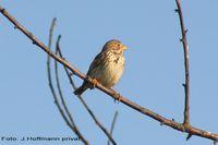 Grauammer ist eine Indikatorvogelart Quelle: Foto: J. Hoffmann (privat) (idw)