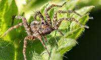 Ein aktuell eher seltene Art von Spinne (Symbolbild)