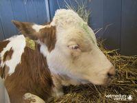 Labmagengeschwüre schwächen die Tiere und verursachen Schmerzen. Hier ein Kalb mit durchgebrochenem Quelle: (Foto: Alexandra Hund/Universitätsklinik für Wiederkäuer/Vetmeduni Vienna) (idw)