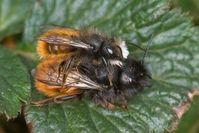 Pärchen der Gehörnten Mauerbiene in Prä- oder Postkopula