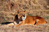 Entspannt beobachtet Simba die Löwen in den Nachbargehegen. Bild: (c) VIER PFOTEN, Mihai Vasile
