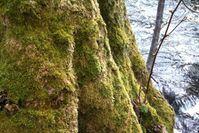Mit Moos bewachsener Baumstamm: Ein internationales Forschungsteam hat den Reaktionsweg entschlüsselt, mit dem die kleine Pflanze ihre äußere Schutzschicht ausbildet.