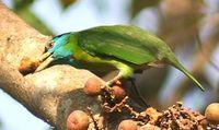 Blauwangen-Bartvogel (Megalaima asiatica)