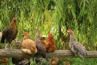 Hühner die weitestgehend leben können, wie sie es wollen (Symbolbild)
