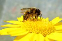 Drei Mauerbienenarten haben die Wissenschaftler untersucht. Hier zu sehen: die Rote Mauerbiene (Osmia bicornis) Quelle: Foto: Mariela Schenk (idw)
