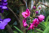 Tropischer Blütenzauber im Reich der Orchideen Quelle: Foto: Swen Reichhold/Universität Leipzig (idw)