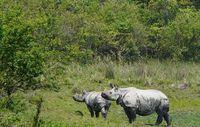 Kaziranga beheimatet die größte Population von Panzernashörnern. Bild: © Wikimedia Commons