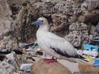 Seevogel: Immer mehr von ihnen ersticken an Plastikmüll. Bild: csiro.au