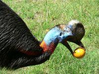 Der Einlappenkasuar Casuarius unappendiculatus ist der größte Vogel in Neuguinea und der primäre Sam Quelle: Foto: Margaretha Pangau-Adam (idw)