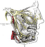 Anatomische Darstellung des Ganglion trigeminale (Ganglion semilunare) und der drei Äste des Nervus trigeminus.