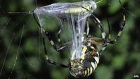Spinne: für die Wissenschaftler Vorbild bei der Organherstellung. Bild: SPL