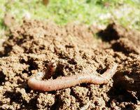 """Regenwurm: Er gehört zur """"Herde unter der Erde"""" die für den Bauern arbeitet - falls er nicht vergiftet wird (Symbolbild)"""