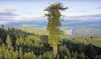 Dieser erwachsene Baum überlebte die moderne Forstwirtschaft. Heute haben wir nur Baumkinder in den Wäldern. (Symbolbild)
