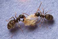 Ameisen mit Puppe: Nach Infektion folgt Mord. Bild: Christopher Pull, ist.ac.at