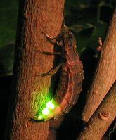 Weibchen des Großen Leuchtkäfers (Lampyris noctiluca)