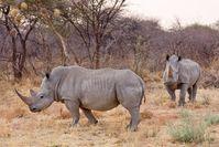 Breitmaulnashörner in Namibia